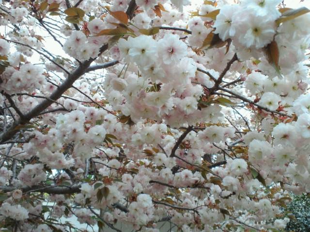 おつぎは八重桜